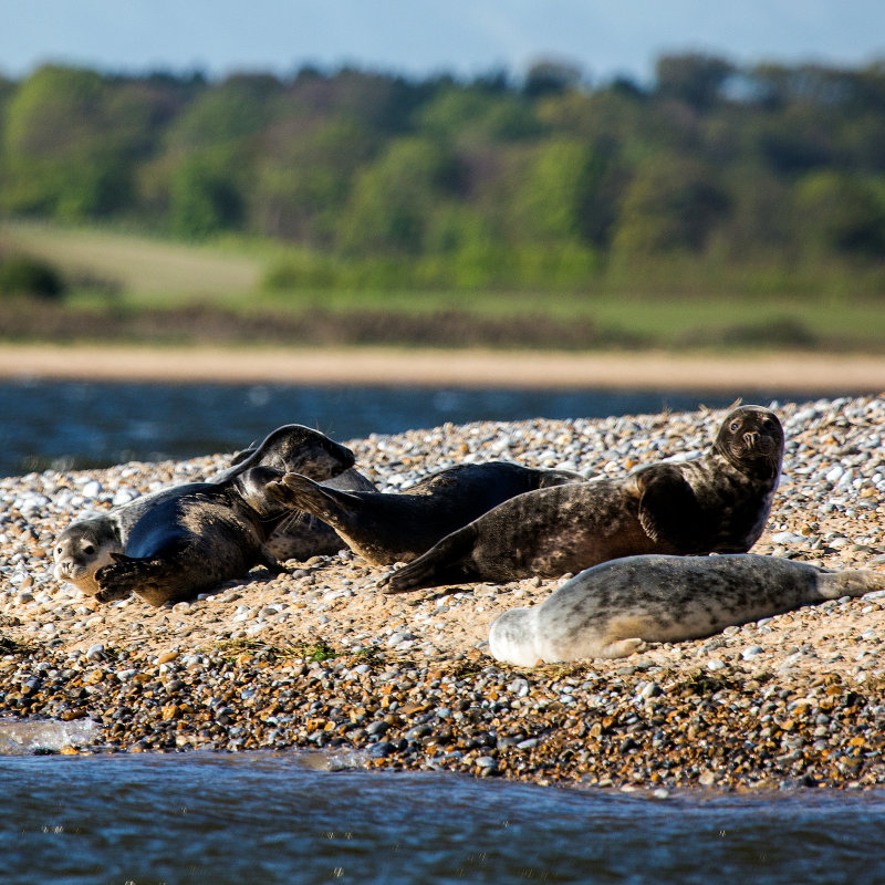 Blakeney National Nature Reserve - Wide open spaces and uninterrupted views of the beautiful North Norfolk coastline. Four mile long shingle spit offers protection for Blakeney Harbour & the surrounding saltmarshes, a perfect habitat for the vast array of residential & migratory wildlife.